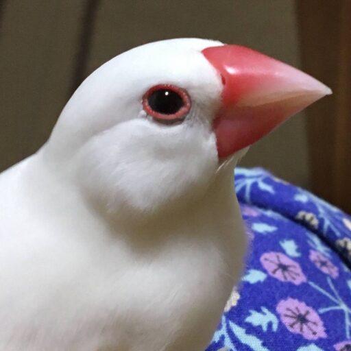 白文鳥03
