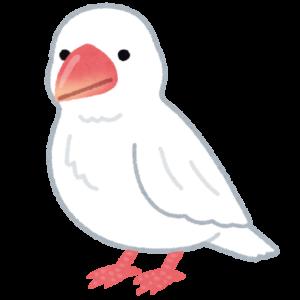 白文鳥05
